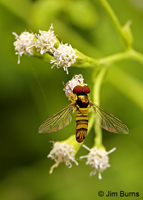 Oblique Flower Fly