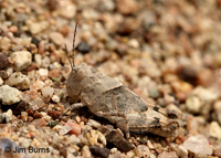 Pallid-winged Grasshopper (Trimerotropis pallidipennis), Tonto National Forest, Arizona