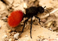 Red Velvet Ant (Dasumutilla magnifica), a fresh, young female with vibrant abdominal color--4488