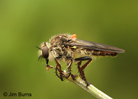 Robber Fly with fly, Estero Llano Grande State Park, Texas