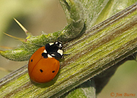 Seven-spotted Lady Beetle on thistle, Tonto National Forest, Arizona--9861