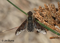 Sinuous Bee Fly