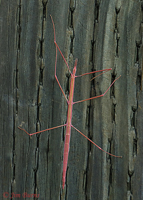 Western Short-horned Walking Stick
