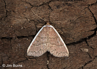 White Edge Moth