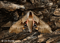 Willow Sphinx Moth