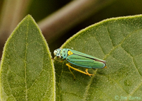 Leafhopper (Graphocephala cythura), Madera Canyon, Arizona--8872