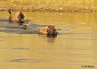 American Bison family crossing the Yellowstone