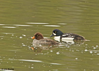 Barrow's Goldeneye pair under Bay Bridge