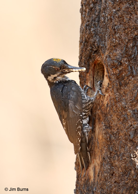 Black-backed Woodpecker at nest hole