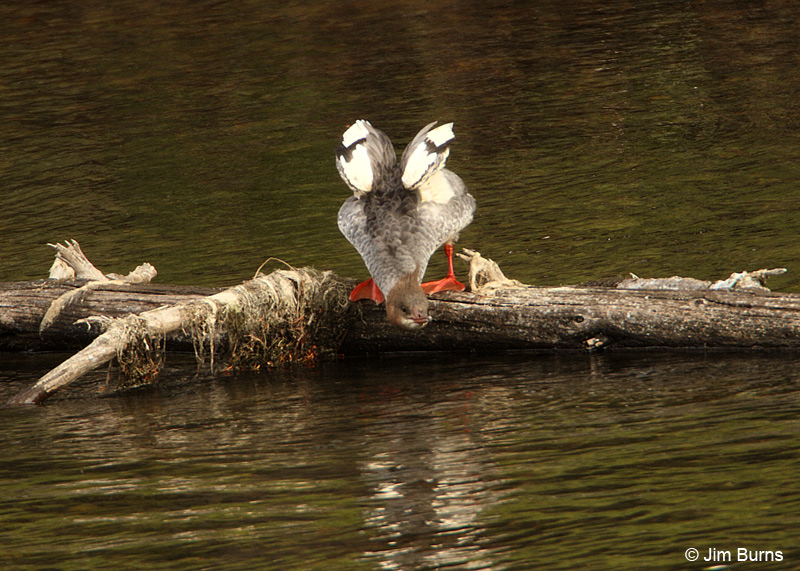Common Merganser wingstretch