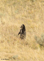 Grizzly Bear cub in fall meadow