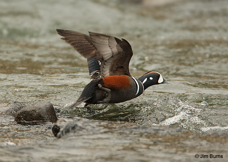 Harlequin Duck male over Le Hardy Rapids