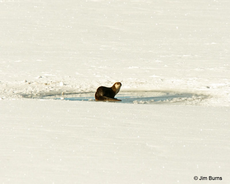 Northern River Otter on ice