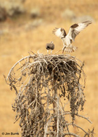 Osprey adult delivering fish to nest