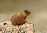 Yellow-bellied Marmot on lookout