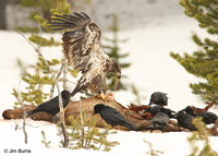 Immature Bald Eagle on Elk carcass