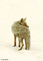 Coyote in snow