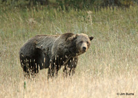 Grizzly Bear at Otter Creek